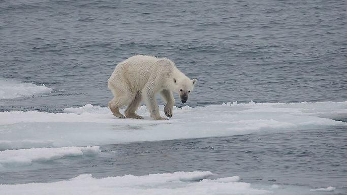 1280px-Endangered_arctic_-_starving_pola