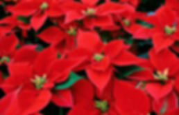 poinsettia_background.jpg