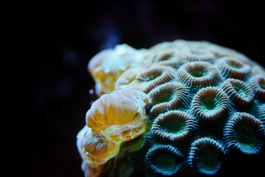 Hexacorallia