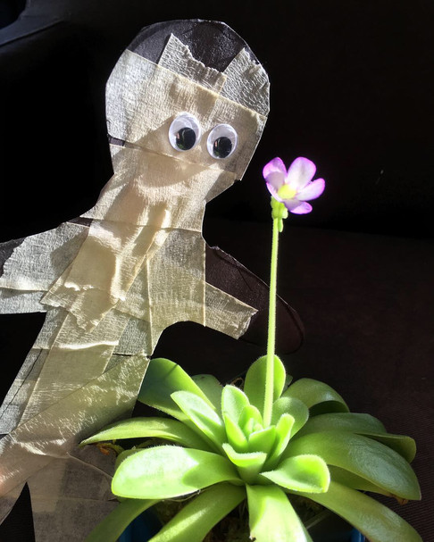 Pinguicula agnata (with mummy)