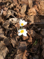 Early spring bloomer in WI
