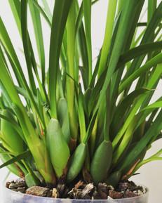Maxillaria Ben Berliner