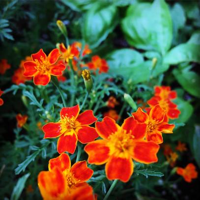 Red Gem Marigold (mini)