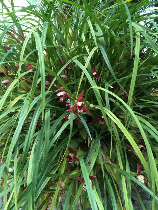 Maxillaria tenuifolia specimen of my dreams