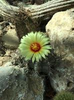 Cacti in bloom at ABQ Botanic Garden