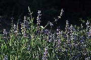 Salvia-sonomensis-1.jpg