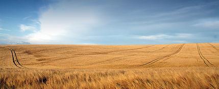 Rolling field of wheat near Winchester,