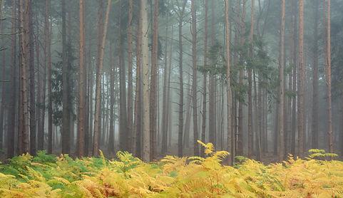 Bracken in the woods.jpg