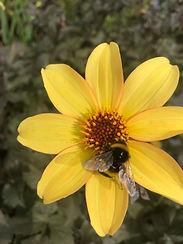 Bee Friendly Perennial