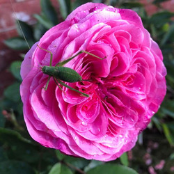 Grasshopper taking a minute on the Gertrude Jekyll David Austin Rose this morning
