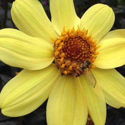 _beeutifulgardens #gardening #dahlia #yellow #yourbeesneedyou #growflowersnotlawns
