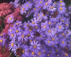 How many butterfly's can you see_ Aster 'king george' #buterfly #bees #flowerpower #purple #gardenin