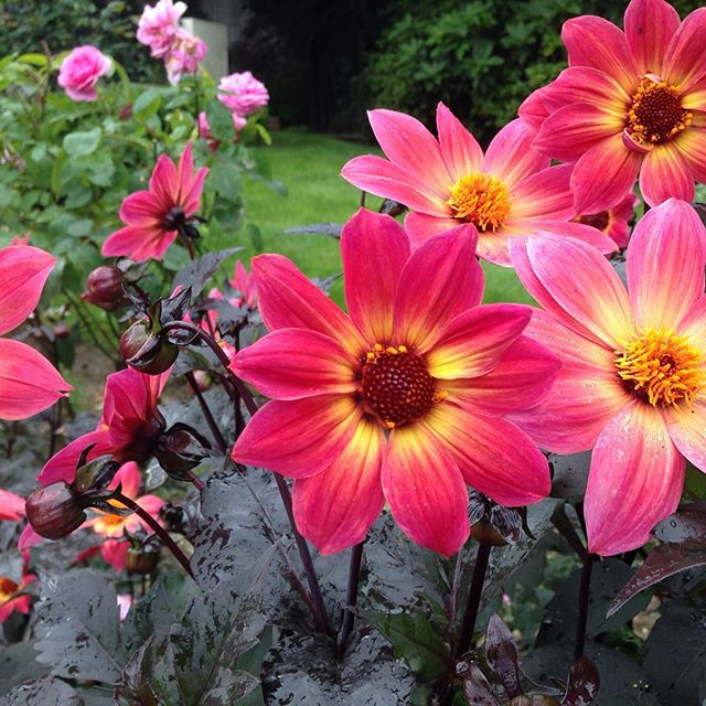 Shockingly gorgeous Dahlia Twynings Revel ! _beeutifulgardens #gardening #flowerpower #savethebees