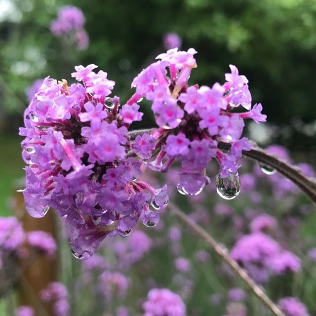 Verbena Bonariensis glistening with little water droplets! #bees #flowerpower #perennial #purple _be