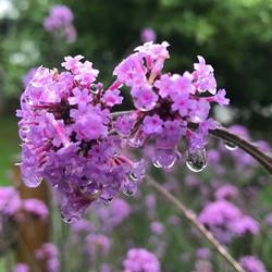 Verbena Bonariensis glistening with little water droplets! #bees #flowerpower #perennial #purple _be