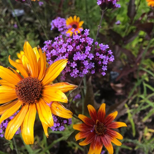 Lovely combo! Heliopsis burning heart and Verbena bonariensis