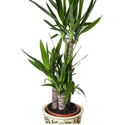 yucca_t_250px.png