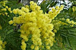 Mimosa ed altri fiori per la festa della donna