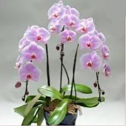 orchidea_rosa_250px.png