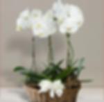 orchidea_bianca_245px.png
