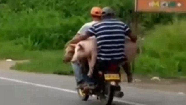 motorcycle with pigs