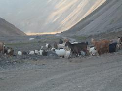 Cabras del camino