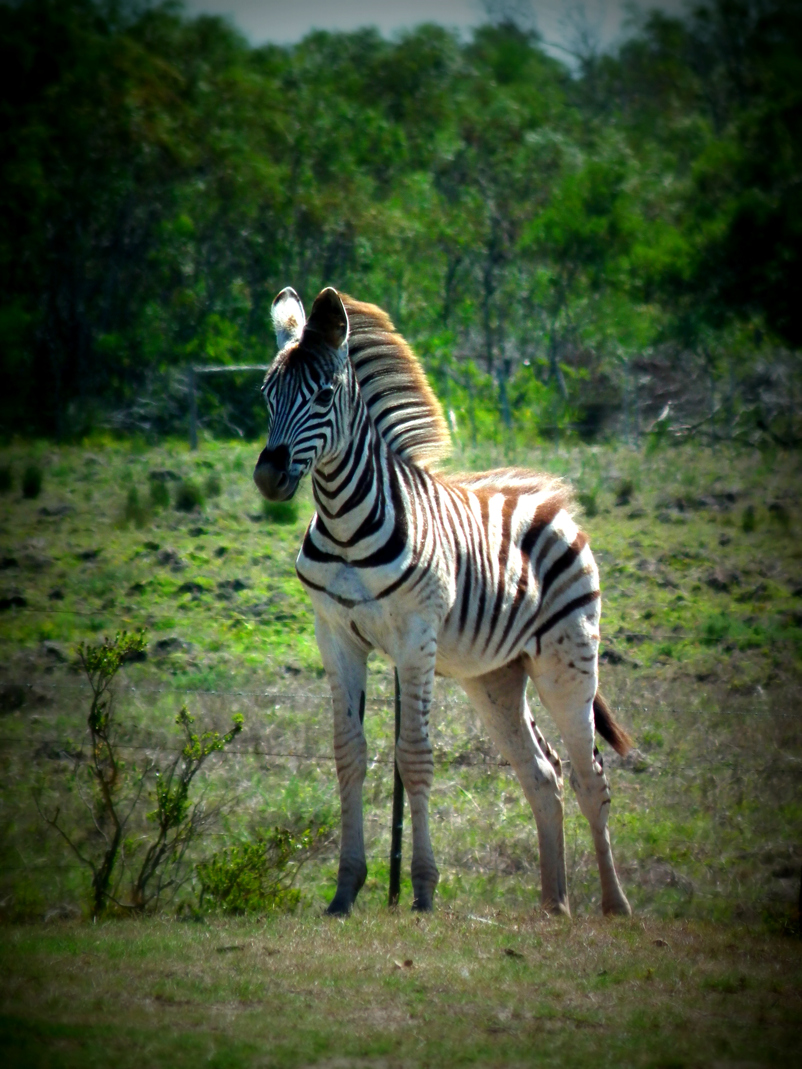 Baby Burchell Zebra