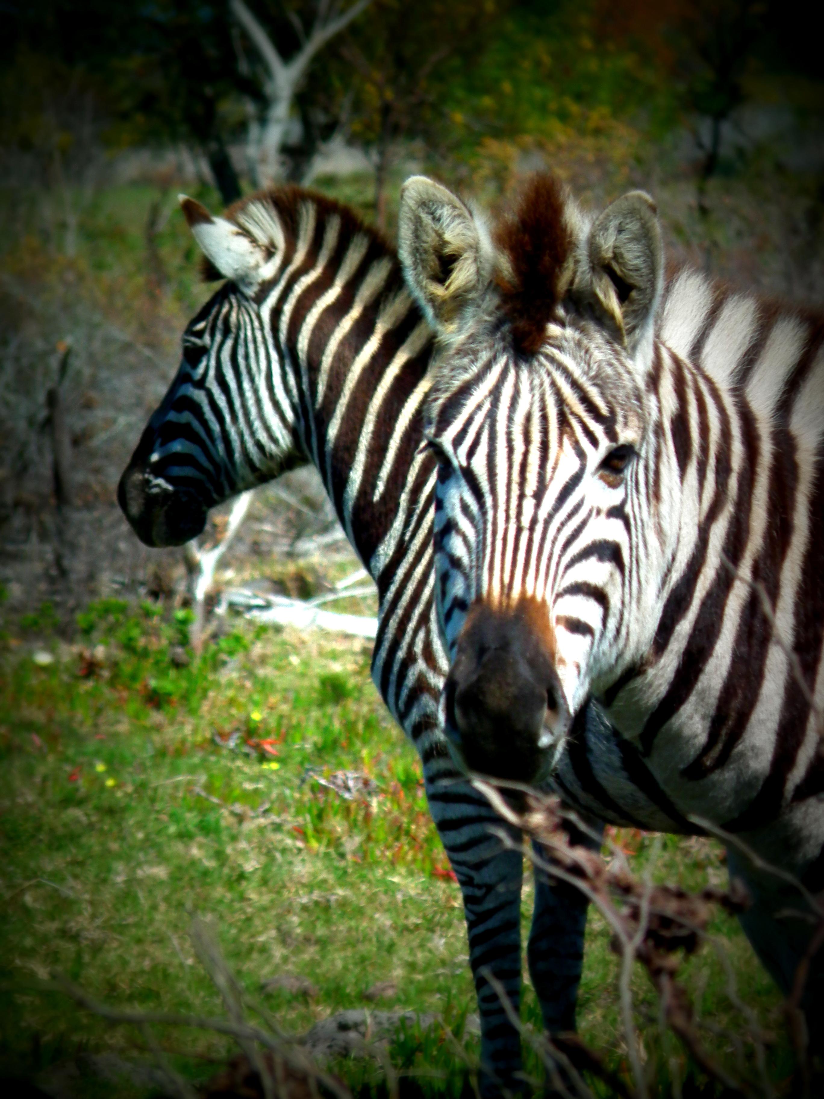 Burcell Zebra