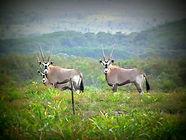 Gemsbuck (Oryx)