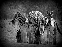 Burcell Zebra Family