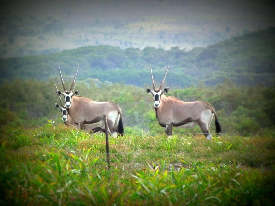 Oryx (Gemsbuck)