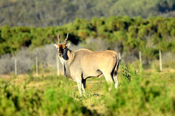 Cape Eland Bull