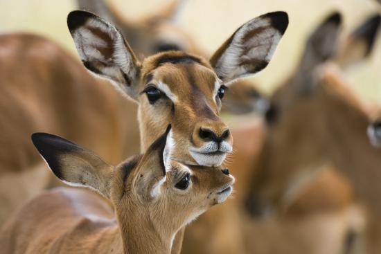 Impala Mom and Baby