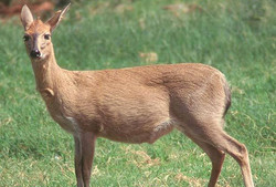 Duiker Ewe