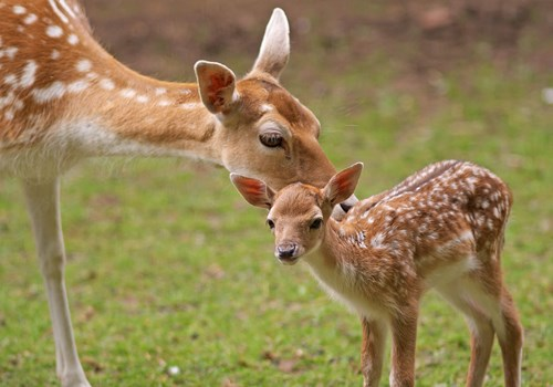 Fallow Deer Mom and Baby