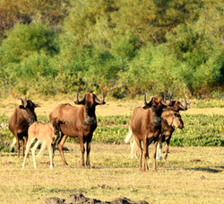 Black Wildebeest Family