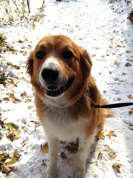 Toby - Denver Dog Walkers