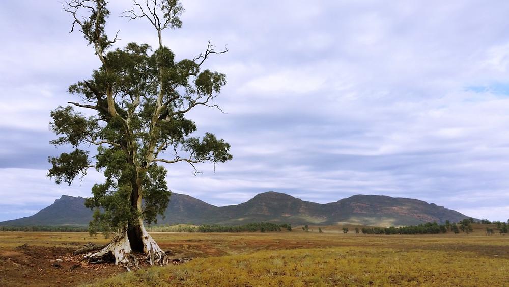 Cazneaux Tree
