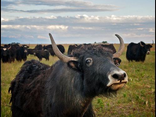 Yak Bull 2-6 y