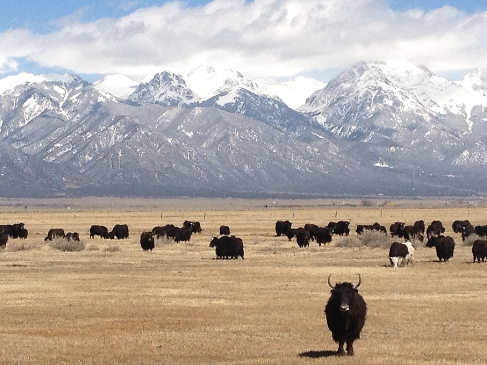 We have 100 healthy and happy Yak, male steer, some mamas. Now is the time to invest in Yak!  Email us if interested!