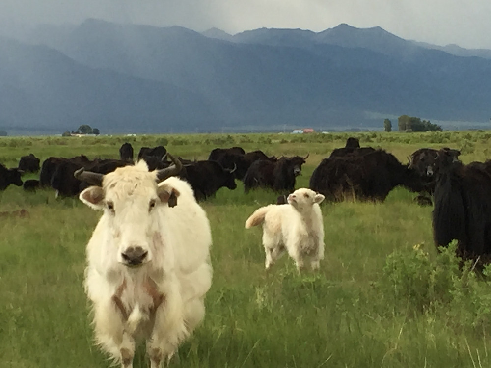 Our one white Yak mama had a baby named Lucky. Its been a year now and he has grown into a handsome yearling. His Fiber is going to be divine! Photos of him to come as soon as I can get my butt in the field!