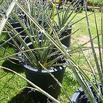 Yellow Yucca.JPG