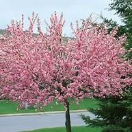 Flowering Almond Prunus triloba.jpg