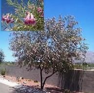 Desert Willow Tree