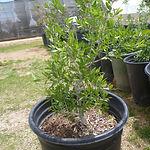 Desert Olive.JPG