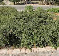 Creeping Cotoneaster
