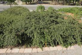 Creeping Cotoneaster