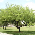 Chilean Mesquite Tree