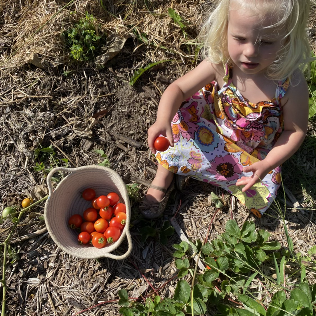 Naomi Harvesting Tomatoes from the Garden