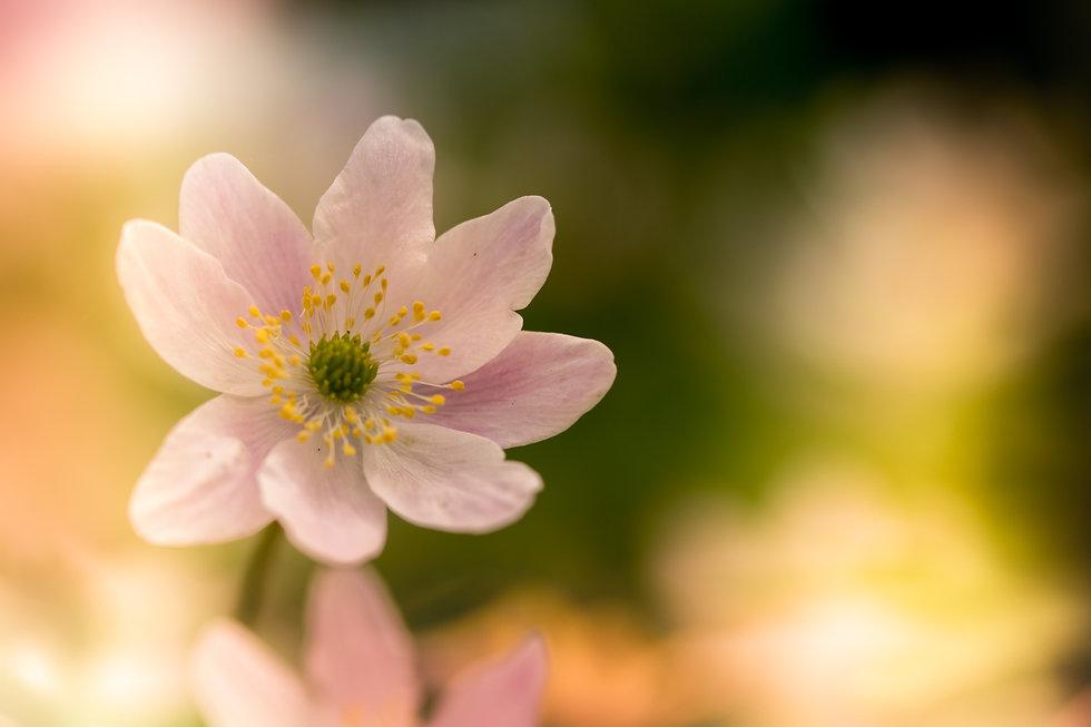 macro-photography-of-white-poppy-flower-